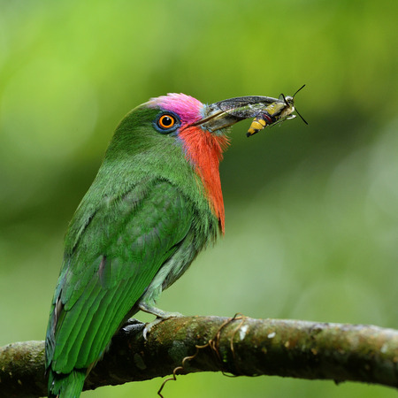 Red-beared Bee-eater, the beautiful green bird with red feathers on its neck carrying insect to feed the chicks Stock Photo
