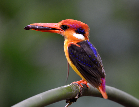 fascinate: Black-backed Kingfisher (Ceyx Erithaca) a vivid red and orange bird with dark blue on its wings perching on the bamboo branch carrying a dead spider in mouth to feed its chicks