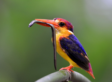 orange snake: Black-backed Kingfisher (Ceyx Erithaca) a red and orange bird perching on the bamboo branch carrying small snake to feed its chicks