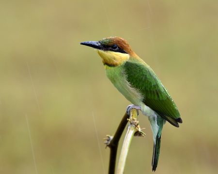 Juvenile of Chestnut-headed bee-eater (Merops leschenaulti) perching on the curve branch withrain drops on his head Stock Photo