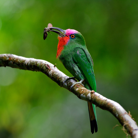 red bills: Red-bearded bee-eater (Nyctyornis amictus) beautiful of parrents green bird with red and pink mustache carrying insect in its long bills to feed the chicks in the nest hole