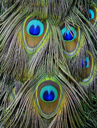blue peafowl: The exotic velvet green and blue spots on Indian Peacock or green peafowl tail, the most beautiful bird feathers background