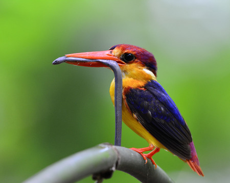 orange snake: The Black-backed Kingfisher (Ceyx Erithaca) a vivid orange and red bird perching on the bamboo branch carrying long small snake to feed its chicks