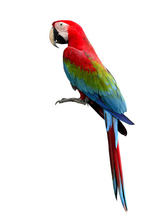 Green-winged Macaw parrot, beuatiful multi colors birds with red, blue and green isolated on white background, magnificent creature Stockfoto