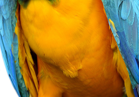 fascinate: Fine yellow and blue background of Blue-and-Gold Macaw parrot bird chest feathers, beautiful texture