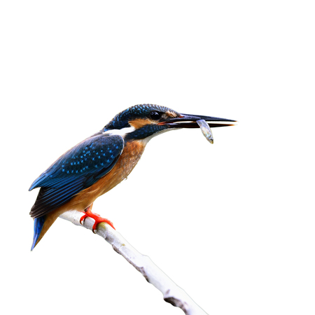 alcedo atthis: Common kingfisher (Alcedo atthis) a beautiful blue bird having fish in his bills isolated on white background, fascinating nature