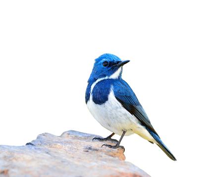 ultramarine blue: Ultramarine Flycatcher (superciliaris ficedula) beautiful blue bird perching on the rock isolated on white background, fascinated nature