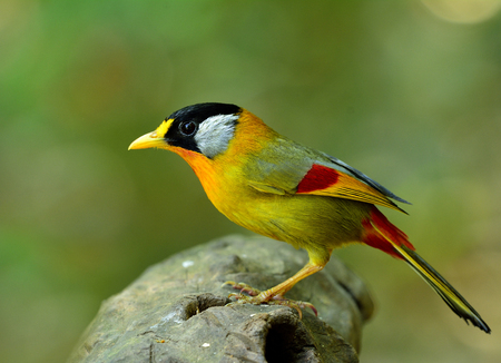 leiothrix argentauris: Silver-eared Mesia (Leiothrix argentauris) beautiful yellow bird with bright cheek standing on the log, amazing animal Stock Photo