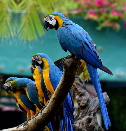 Flock of  Blue-and-yellow (Ara ararauna) or Blue and Gold macaw parrot birds perching on the log together, beautiful blue birds