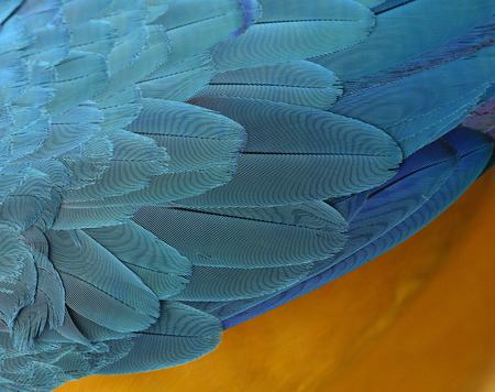 fascinate: Fine yellow and blue background of Blue-and-Gold Macaw parrot bird feathers, beautiful texture Stock Photo