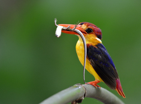 chicks: Black-backed kingfisher or oriental dwarf kingfisher, a small orange to yellow with dark blue wings bird carrying lizard to feed its chicks in the hole nest, exotic nature