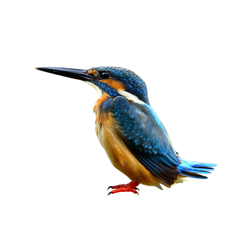 alcedo atthis: Common Kingfisher (Alcedo atthis) Eurasian or River Kingfisher, beautiful blue bird with pale brown belly to chest feathers has funny wagging tail isolated on white background, fascinated nature Stock Photo