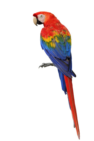 fascinated: Scarlet macaw (Ara macao) a large, red, yellow and blue parrot bird showing its back feathers profile isolated on white background, fascinated bird Stock Photo