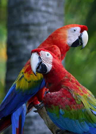 fascinate: Green-winged macaw with Scaret macaw parrot birds perching together, lovely nature Stock Photo