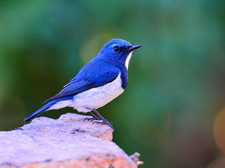 Beautiful blue bird, Ultamarine Flycatcher (superciliaris ficedula) perching on the rock over far green background in the nature, fascinated creature Stock Photo