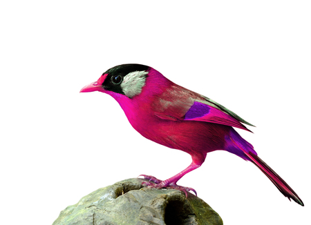 leiothrix argentauris: Amazing pink bird isolated on white background, beautiful fancy bird