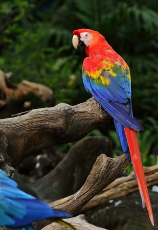 fascinate: Scarlet macaw parrot bird perching on the wooden log with fine back feathers Stock Photo