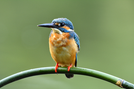 alcedo atthis: Common kingfisher (Alcedo atthis) beautiful blue bird waiting to fishing on curve green bamboo stick over blur green background, fascinating nature Stock Photo