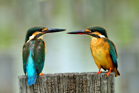Sweet pair of Common Kingfisher (Alcedo atthis) the beautiful small blue birds perching on dried wooden log together, magnificent nature Stock Photo