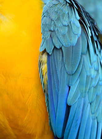 Fascinnated yellow and blue background of Blue-and-Gold Macaw parrot bird feathers, beautiful texture