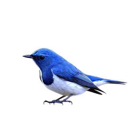 ultramarine blue: Ultramarine Flycatcher (Ficedula superciliaris), little beautiful blue bird standing on the floor isolated on white background