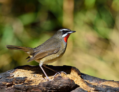Male of Siberian rubythroat (Calliope calliope) the brown bird with bright orange to red neck with tail lifting standing on the burned log in the nature