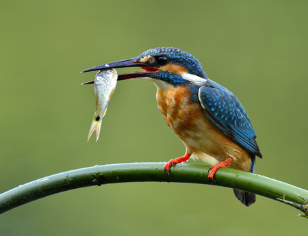 alcedo: Common Kingfisher (Alcedo atthis) beautiful blue bird carrying fresh fish in his mouth while perching on curve bamboo branch, fascinated nature