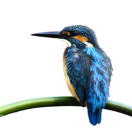 alcedo atthis: Common Kingfisher (Alcedo atthis) Eurasian or River Kingfisher, beautiful blue bird perching on bamboo stick isolated on white background, beautiful bird on the perch Stock Photo