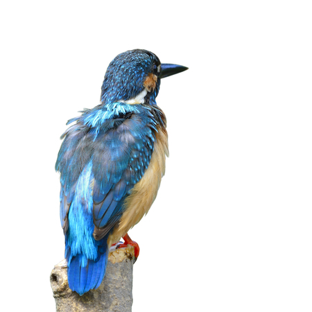 Common Kingfisher (Alcedo atthis) beautiful blue bird perching on the pole showing back feathers profile isolated on white background, fascinated nature Stock Photo
