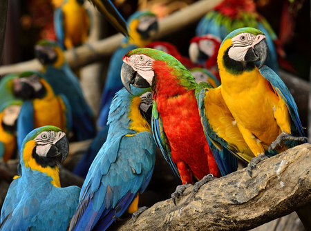 fascinate: Harliquin macaw parrot bird, the green with orange chest feather perching on the wooden log with blue and gold macaws