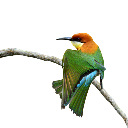 white perch: Chestnut-headed bee-eater (Merops leschenaulti) a brightly colors bird stretching its wings on the branch isolated over white background, fascinated nature Stock Photo