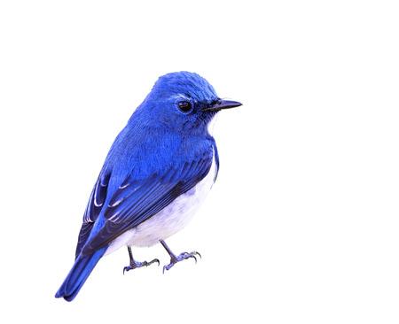 ultramarine blue: Ultramarine Flycatcher (superciliaris ficedula) beautiful tiny blue bird showing its fine back feathers, fascinated creature Stock Photo