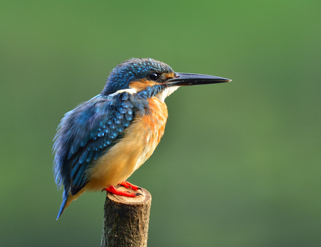 alcedo atthis: Common Kingfisher (Alcedo atthis) a beautiful chubby blue bird showing its puffy feathers whilte perching on the wooden pole in early morning lighting