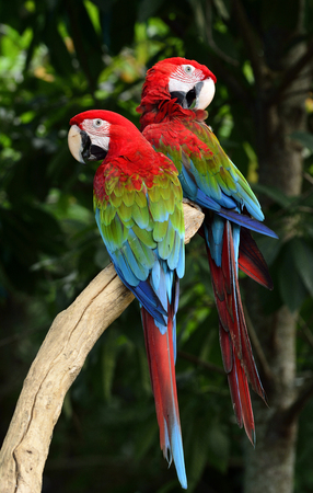 fascinate: Lovely pair of Green-winged macaw parrot birds perching on the same spot with beautiful feathers
