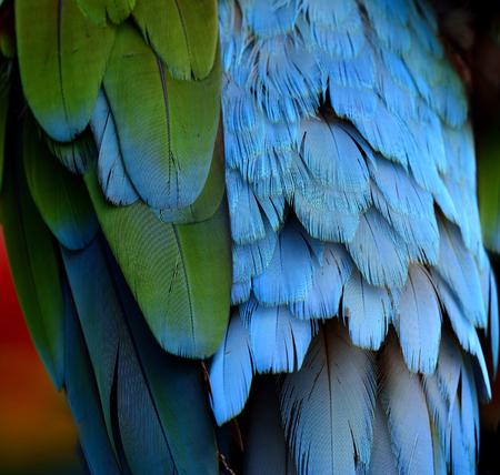 fascinate: The blur of multi color background of Green-winged Macaw parrot bird feathers, beautiful texture Stock Photo