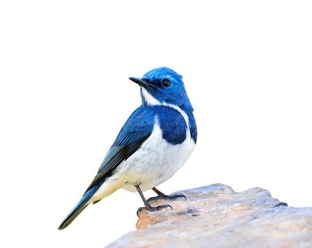 ultramarine blue: Ultramarine Flycatcher (superciliaris ficedula) the beautiful blue bird perching on the rock isolated on white background, exotic nature