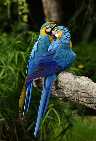fascinate: Blue and gold macaw parrots with puffy feathers perching on the same branch, exotic nature