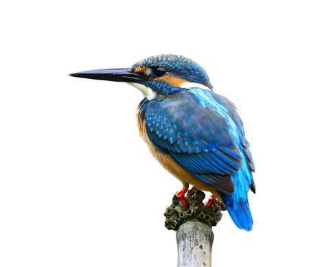 alcedo atthis: Common Kingfisher (Alcedo atthis) Eurasian or River Kingfisher, beautiful blue bird perching on twig isolated on white background, gorgeous nature