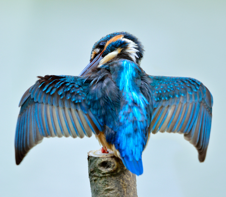 Common Kingfisher (Alcedo atthis) the beautiful blue bird cleaning its feathers while perching on the wooden pole