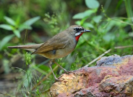 fascinate: Siberian rubythroat (Calliope calliope) a small brown passerine bird with bright red neck standing on the rock in the bush