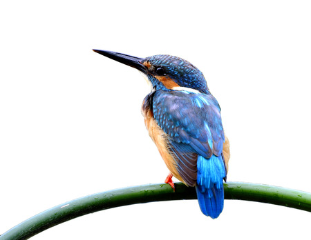 white perch: Common Kingfisher (Alcedo atthis) Eurasian or River Kingfisher, a beautiful blue bird perching on bamboo stick isolated on white background, isolation bird on perch