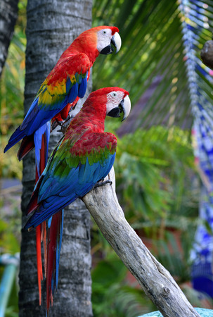 fascinate: Green-winged macaw with Scaret macaw parrot birds perching together on the log, lovely nature