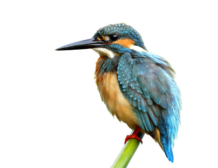 alcedo atthis: Common Kingfisher (Alcedo atthis) green and turquoise blue bird with puffy feathers calmly perching on the bamboo stick isolated on white background, exotic nature Stock Photo