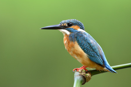 alcedo atthis: Lovely blue bird, Common Kingfisher (Alcedo atthis) sitting on bamboo stick fishing in the stream over blur green background, fascinated nature Stock Photo