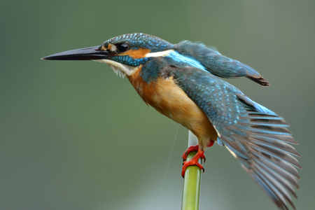 Common Kingfisher (Alcedo atthis) green and turquoise blue bird streatching its wings while perching on bamboo stick, fascinated nature