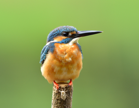 alcedo atthis: Beautiful blue bird, Common Kingfisher (Alcedo atthis)  perching on wooden pole showing its brown chest feathers profile over soft blur green background