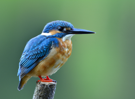 Common Kingfisher (Alcedo atthis) cute blue bird with brown belly to chest perching on the pole patiencely waiting to fishing in the stream, fascinating nature