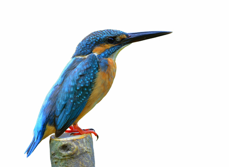 alcedo atthis: Common kingfisher (Alcedo atthis) eurasian or river kinfisher, beautiful blue bird showing its side feathers perching on pole isolated on white background, fascinating nature Stock Photo