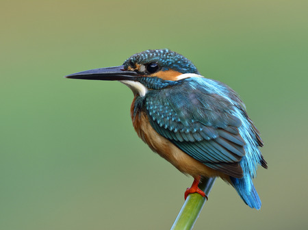 Beautiful blue bird, Common Kingfisher (Alcedo atthis) clamly perching on a bamboo stick with puffy feathers over soft blur green background Stock Photo