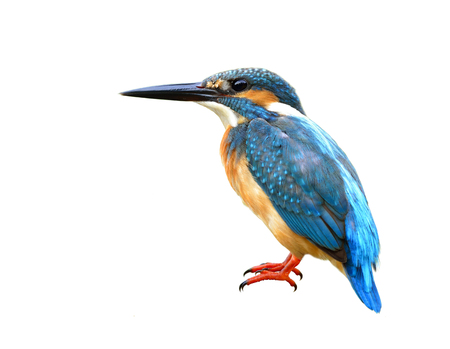 alcedo atthis: Exotic blue bird, Common Kingfisher (Alcedo atthis) with fine feathers details from head to red legs and toes isolated on white background Stock Photo